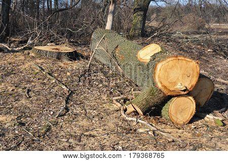 Deforestation. Cutted oak tree. Tree Cutting Photo. Felled oak tree.