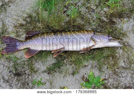 Freshly caught northern pike lying on the sand