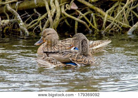 Image two wild ducks floating along the shore along the river