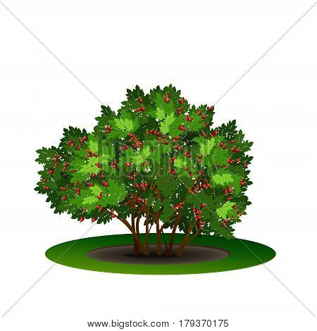 bush dogrose with green leaves and shadow on white background