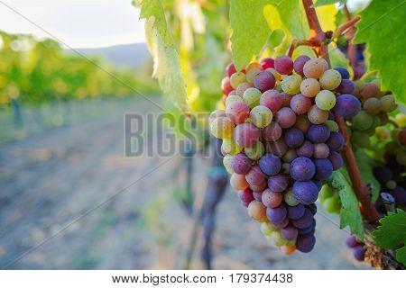 Tuscany vineyards in the summer Italy red wine grapes