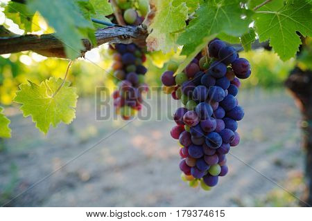 Tuscany vineyards in the summer Italy кred wine production