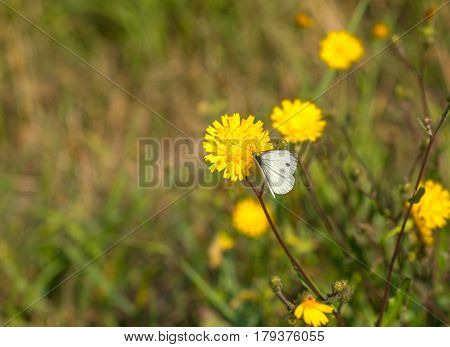 Simple natural idyll - cabbage white butterfly sucking nectar on a meadow yellow flower