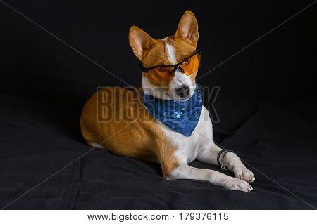 Portrait of stylish basenji dog wearing yellow glasses and blue kerchief and lying on a black background