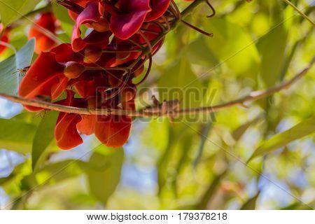 Blossoming Piscidia Flowers.