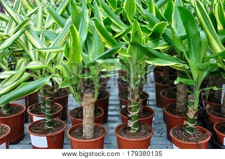 Many pots with green seedlings of dracaena closeup.