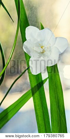 White Freesia Flower, Window Background, Green Plant Close Up