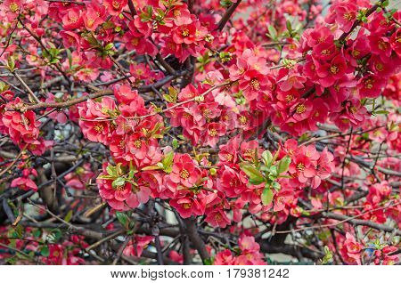 Chaenomeles Japonica Pink Tree Flowers,  Maule's Quince, Gutuiul Japonez, Outdoor Close Up