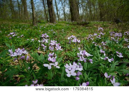 Cuckooflower or lady's smock flowers blossom on meadow in forest.