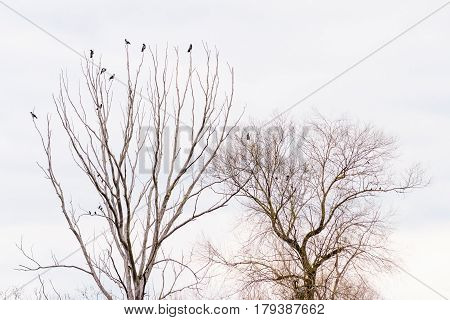 Crows Waiting On A Tree