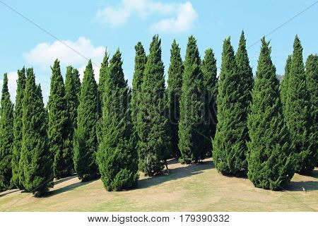 Landscape of pines in royal flora garden Chiangmai