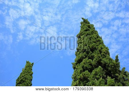 Pines with blue sky in royal flora garden Thailand