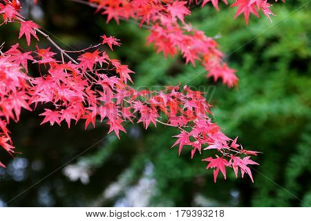 Japanese maple leaves turning red at the change of season from Summer to Autumn in Kyoto Japan