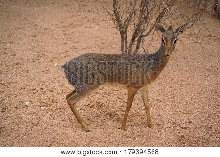 Closeup image of a little antelope dik-dik