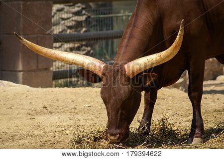 Closeup image of a big brown antelope with long horns