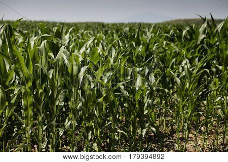 Cornfield during summer.  Background and texture concept. Landscape with cornfields.
