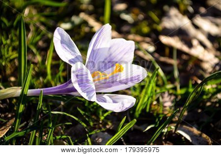 purple colored crocus flower in sunshine light during springtime