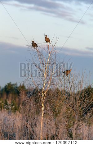 Partridges Sitting On A Tree