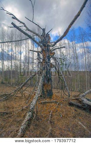 Rotten Old Birch
