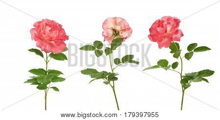 Beautiful Pink Roses For Design Isolated On White Background