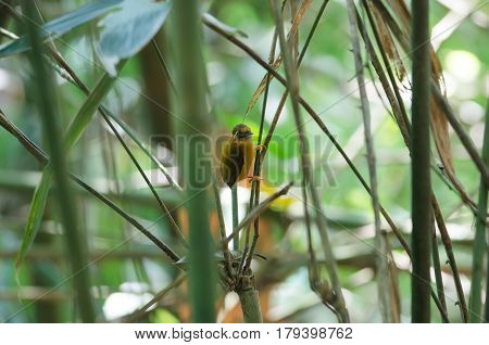 White-browed Piculet Male In The Nature.