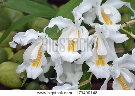 Crested Coelogyne Orchid - Coelogyne cristata Epiphyte from the Himalayas