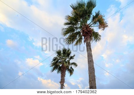 Dessert fan palms or California fan palms with sky