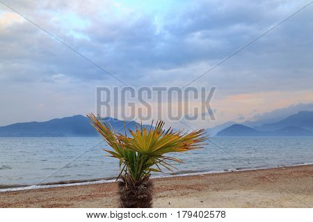 Dessert fan palm in marmaris beach during sunset