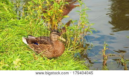 Duck sits on lawn on grass at lake shore