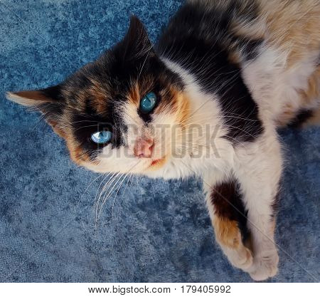 Curious domestic cat with blue eyes and spotted fur looking up. Playful kitten close up portrait.