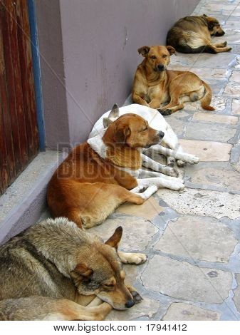 mexican street dogs lazy having a rest on the floor poster