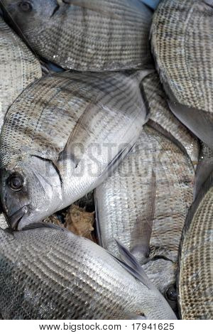 Diplodus Sargus white seabream bream blacktail mediterranean fish