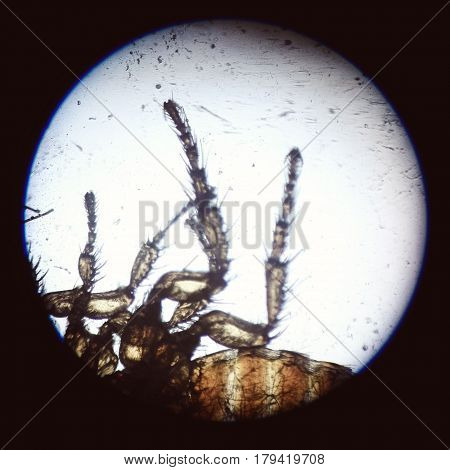 Disgusting insect hairy legs macro. Cat flea parasite macro through a microscope
