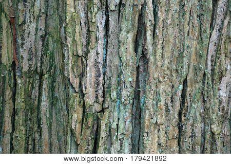 Wych Elm (Ulmus Glabra) Tree Bark Pattern