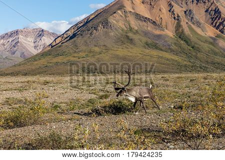 a barren ground caribou bull in velvet in Denali National Park