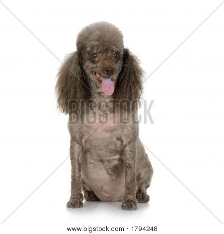 very old dog in front of white background poster