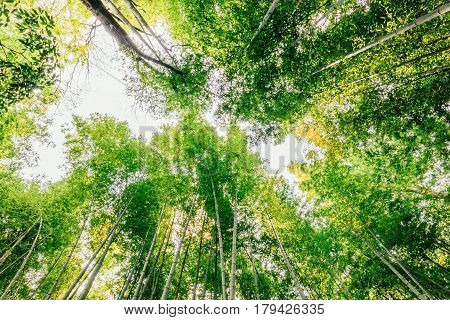 Beautiful bamboo forest at Arashiyama touristy district Kyoto Japan