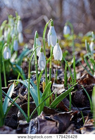 A beautiful forest glade of snowdrops. Winter is over spring comes. Fragile snowdrops in the morning cold spring dew. Sunny morning in the forest. Manifestation of a new life. Close-up.