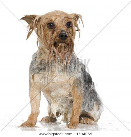 Shampoo Dog