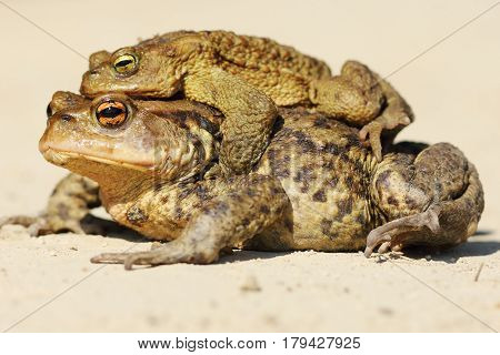 Bufo toads mating in spring ( brown common toad ) male and female wild animals photographed near a pond