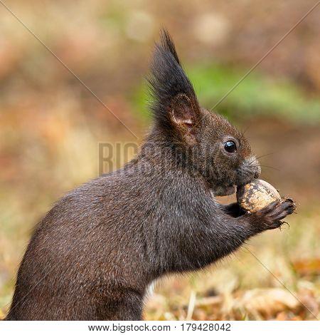 closeup of wild red squirrel holding walnut ( Sciurus vulgaris )