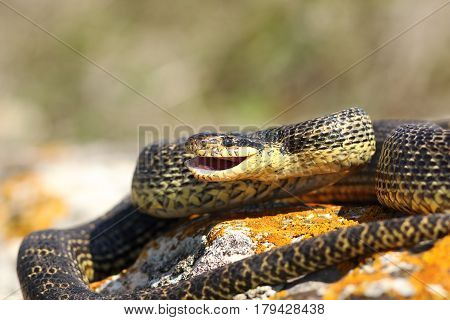 Elaphe sauromates ready to strike with open mouth ( blotched snake )