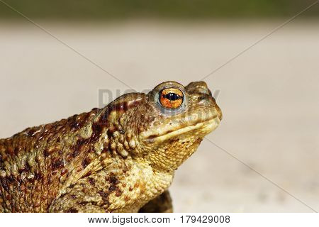 portrait of tiny common toad ( Bufo ) side view