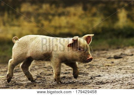 young domestic pig walking on rural road near the farm in sunrise light
