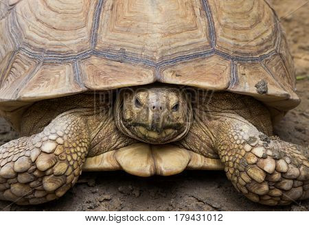 African spurred tortoise (Centrochelys sulcata), also known as the sulcata tortoise.