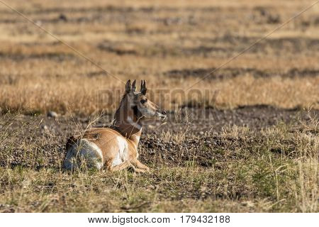 a young pronghorn antelope buck on the prairie