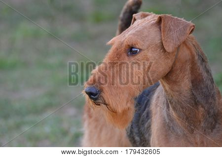 Sweet profile veiw of an airedale terrier dog.