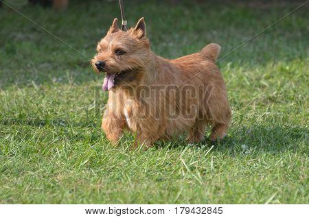 Cute Glen of Imaal terrier with his tongue sticking out.