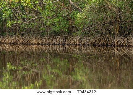 Tangle of Mangrove tree roots and branches growing in to a calm mangrove river with detailed reflection.