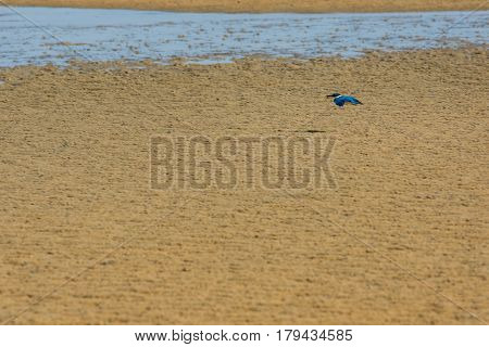 Blue and white Collared Kingfisher in flight low across a golden sand beach with its prey of a small crab in its beak.